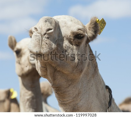Dromedary camel livestock ready to be traded at a traditional african market