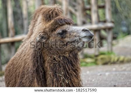 Dromedary Camel sitting near Bedouin Oasis - stock photo