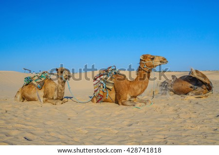 Dromedary Camels lying on the sand in sahara desert, Tunisia, Africa. - stock photo