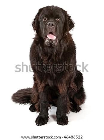 Drooling Newfoundland Dog - stock photo