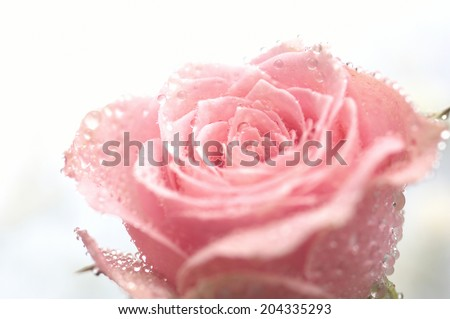 Drop Of Water And Rose