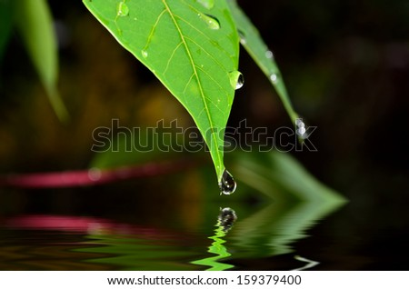 Drop of water falling from green leaf with reflection (shallow DOF and selective focus) - stock photo