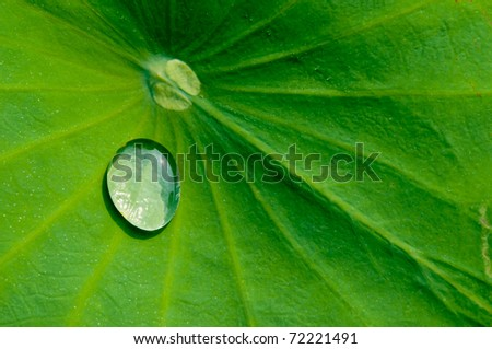 Drop water on the Lotus leaf - stock photo