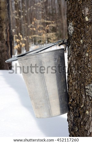 Droplet of maple sap ready to fall into a pail. Maple syrup season. - stock photo