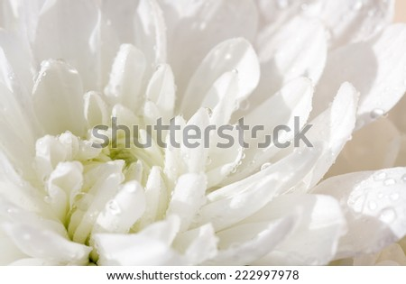 Drops of dew on the petals of white. Small Depth of Field (DOF)  chrysanthemums. - stock photo