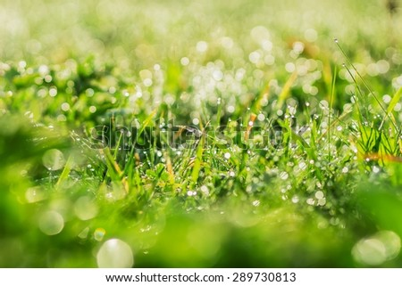 Drops of morning dew on the blades of grass