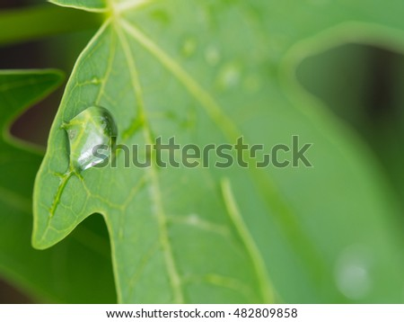 Drops of Rain on The Leaf of The Papaya