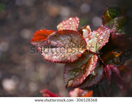 drops of rain on the leaves of rose - stock photo