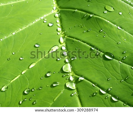 Drops of water on a lotus leaf - stock photo