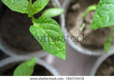Drops of water on a sheet young seedlings of young peppers. - stock photo