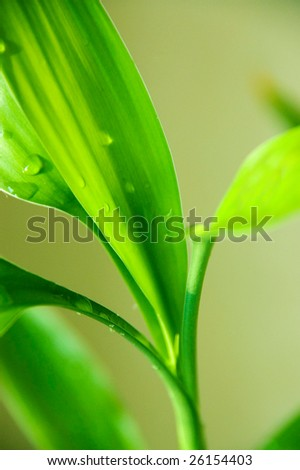 drops of water on the leaves of bamboo