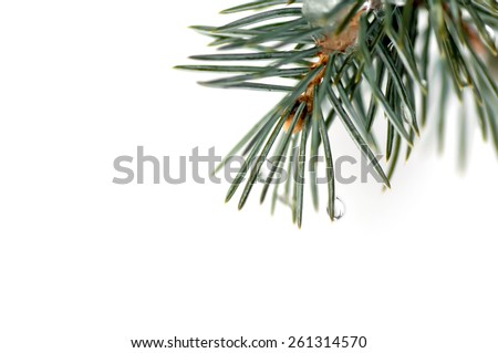 drops on spruce branch close up isolated - stock photo