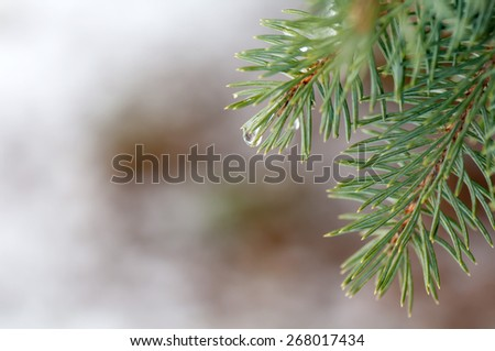 drops on spruce branch closeup - stock photo