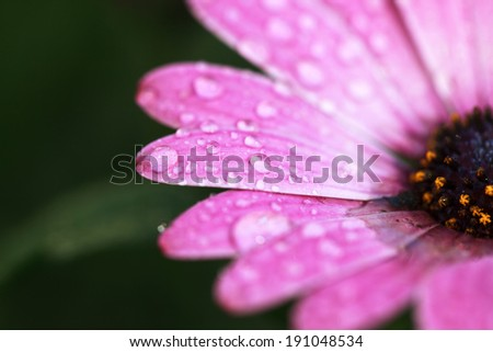 Drops on the petals of a flower African Daisy Flower (Dimorphotheca ecklonis) on dark green background, selective focus, place for text - stock photo