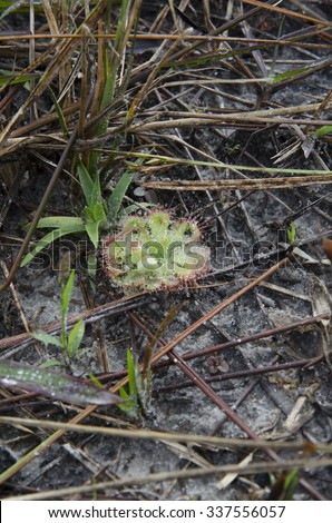 Drosera burmannii Vahl, its leaves can curl around an insect as carnivorous plant.