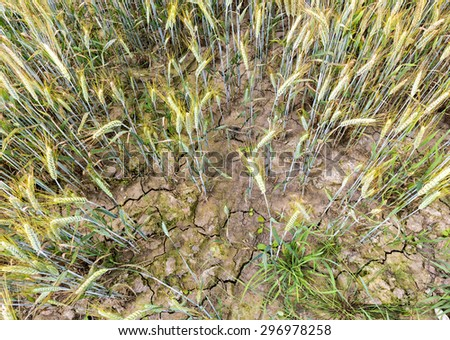 Drought at cereal field. The image can be used for symbolizing of global warming - stock photo