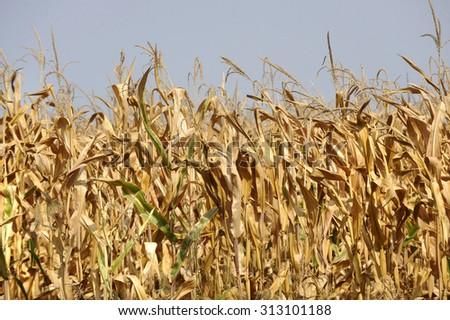 Drought at corn field - stock photo
