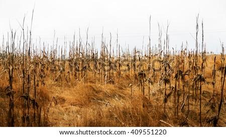 Drought Corn Field  - stock photo