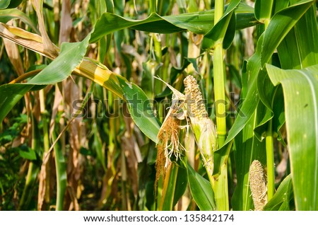 Drought Damaged Cornfield effects of prolonged hot dry weather and diseases of plants. .