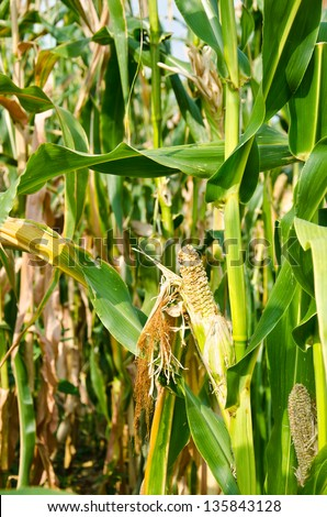 Drought Damaged Cornfield effects of prolonged hot dry weather and diseases of plants. . - stock photo