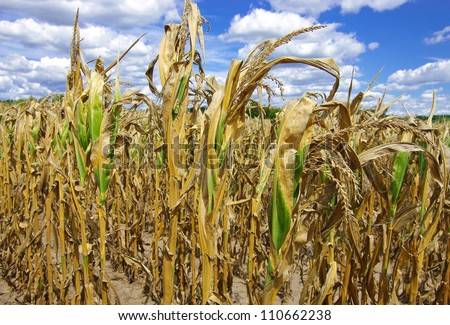 Drought Damaged Cornfield:  Poorly developed cornstalks show the effects of prolonged hot, dry weather on a farm in southern Wisconsin. - stock photo