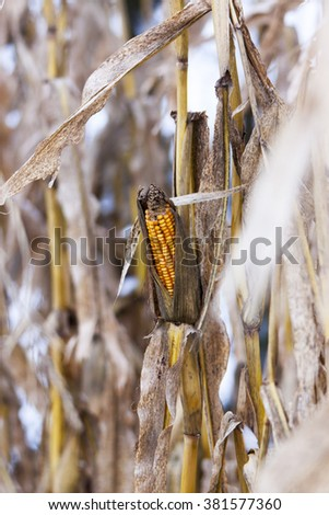 Drought or other disease suffered in this corn field - stock photo