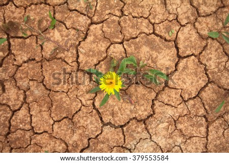 Drought - struggle of life and death concept. Yellow flower on background of cracked soil