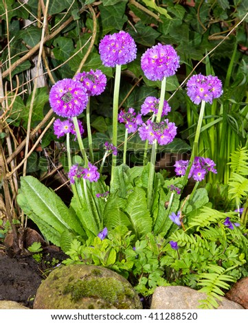 Drumstick primrose (Primula denticulata) an early flowering plant with  decorative round blossoms in the garden. - stock photo