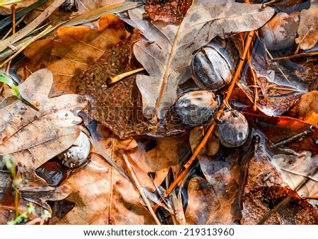 Dry acorn and oak tree leaves in a puddle during autumn - stock photo