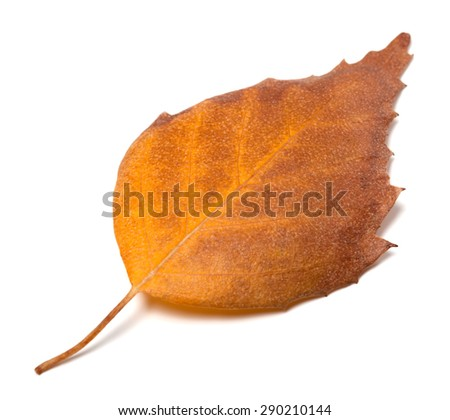 Dry autumn leaf of birch. Isolated on white background - stock photo
