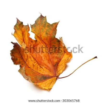 Dry autumn maple leaf. Isolated on white background. - stock photo