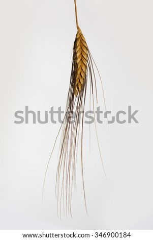 dry barley ear closeup isolated on white background