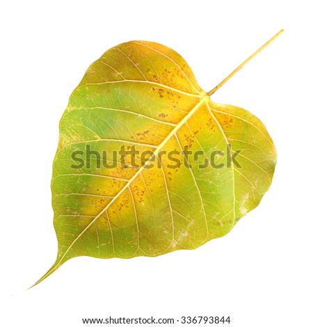 dry bodhi leaf texture on white background
