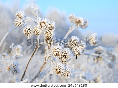 Dry branch burdock (Arctium lappa) under snow on a cold day - stock photo