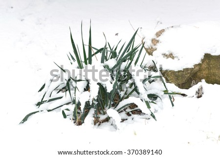 Dry branch covered with fluffy snow, winter background, bush covered with snow, the impact of the snowstorm, winter landscape, Yucca bush in the winter forest near a stone - stock photo