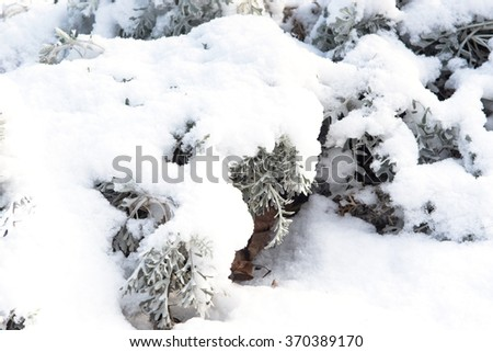 Dry branch covered with fluffy snow, winter background, bush covered with snow, the impact of the snowstorm, winter landscape - stock photo