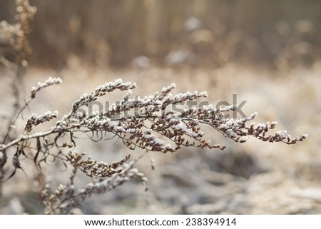 Dry branch of wormwood after the first snow - stock photo