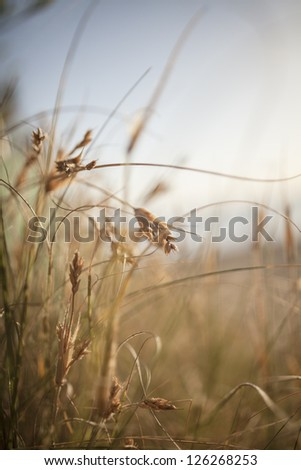 dry grass field background. Dry Brown Beach Grass On Australian - Short Depth Of Field And Blurred Background