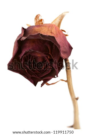 Dry bud of a red rose. Isolated on white.