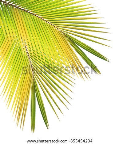 Dry coconut leaf isolated on white background - stock photo