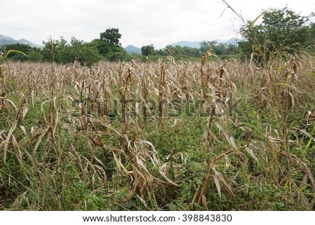dry corn field before harvest because of drought - stock photo