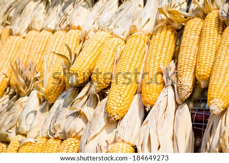 Dry corn maize wallpaper