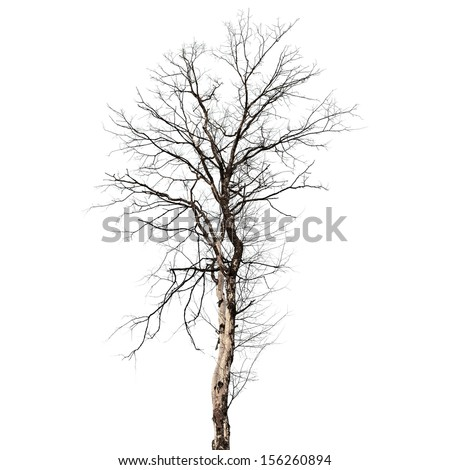 Dry dead tree isolated on white background - stock photo