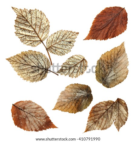 dry fall leaf of raspberry, elements raspberry leaves lay out on  background for scrapbook, object, roughage autumn silver leaves - stock photo