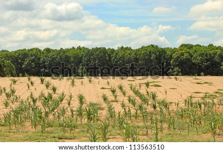 Dry farm field with some corn plants - stock photo