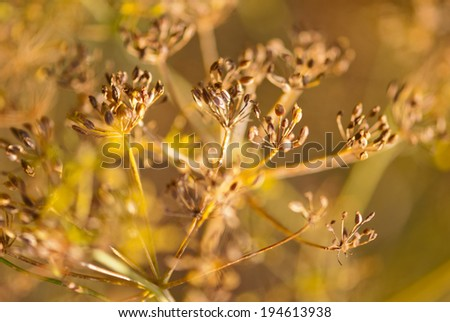 Dry Fennel plant closeup, Maharashtra, India