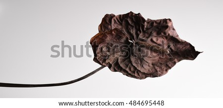dry flamingo flower over clear background death beauty concept