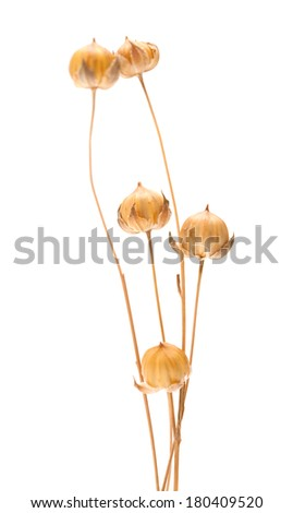 dry flax plant capsules, isolated on white - stock photo