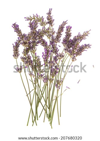 dry flowers of lavender plant isolated on white background - stock photo