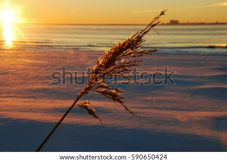 Dry fluffy reed flower by sunset at an icy coast